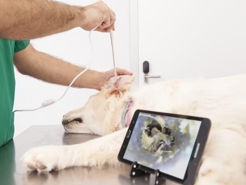 Otoscopia Smartphone Ekuore Perro Otoscopio Visualizacion